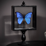 OBJET DE CURIOSITE south american blue morpho butterfly in wooden box on stand