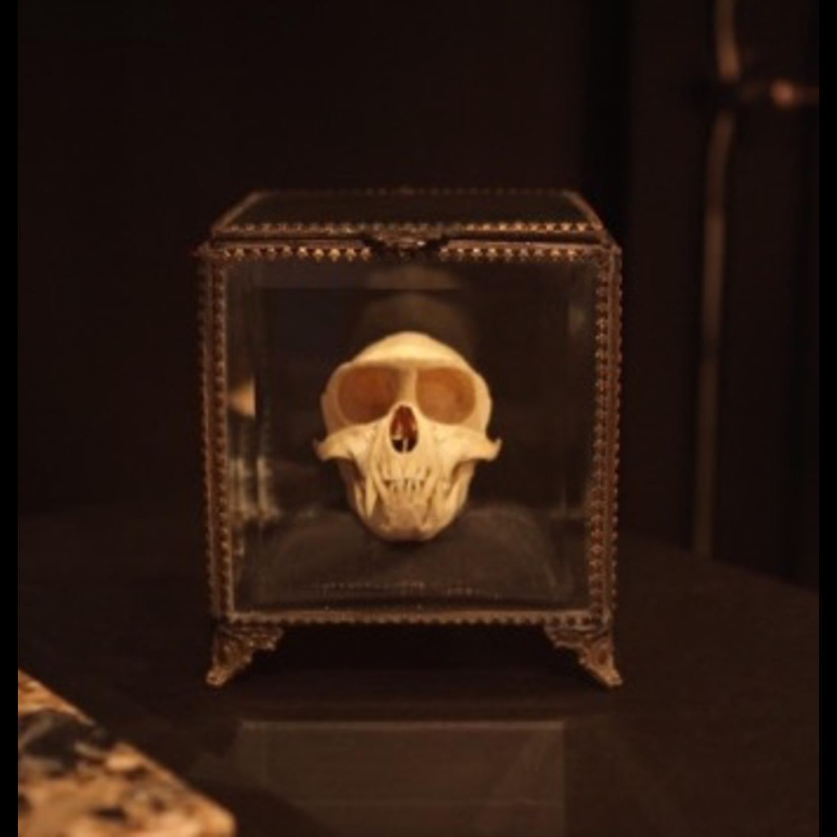 OBJET DE CURIOSITE MONKEY SKULL IN GLASS BOX
