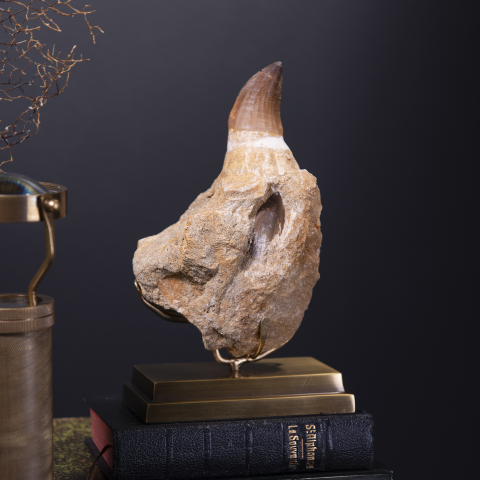 OBJET DE CURIOSITE MOSASAURUS TOOTH IN JAW ON BRASS BASE