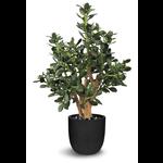 Jade Faux Plant