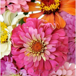 Sale sale-Zealous Zinnias 16x20 Paint by Numbers Kit