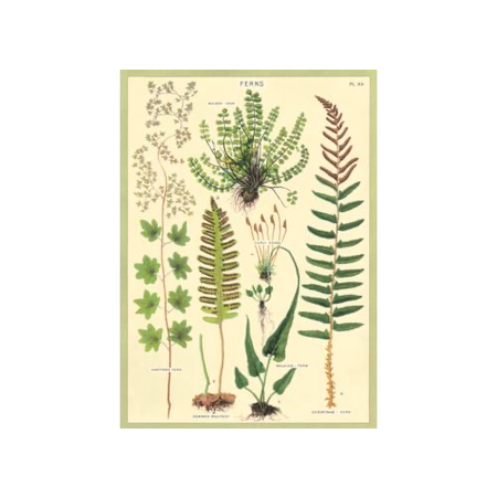 Poster/ Wrap - Ferns #