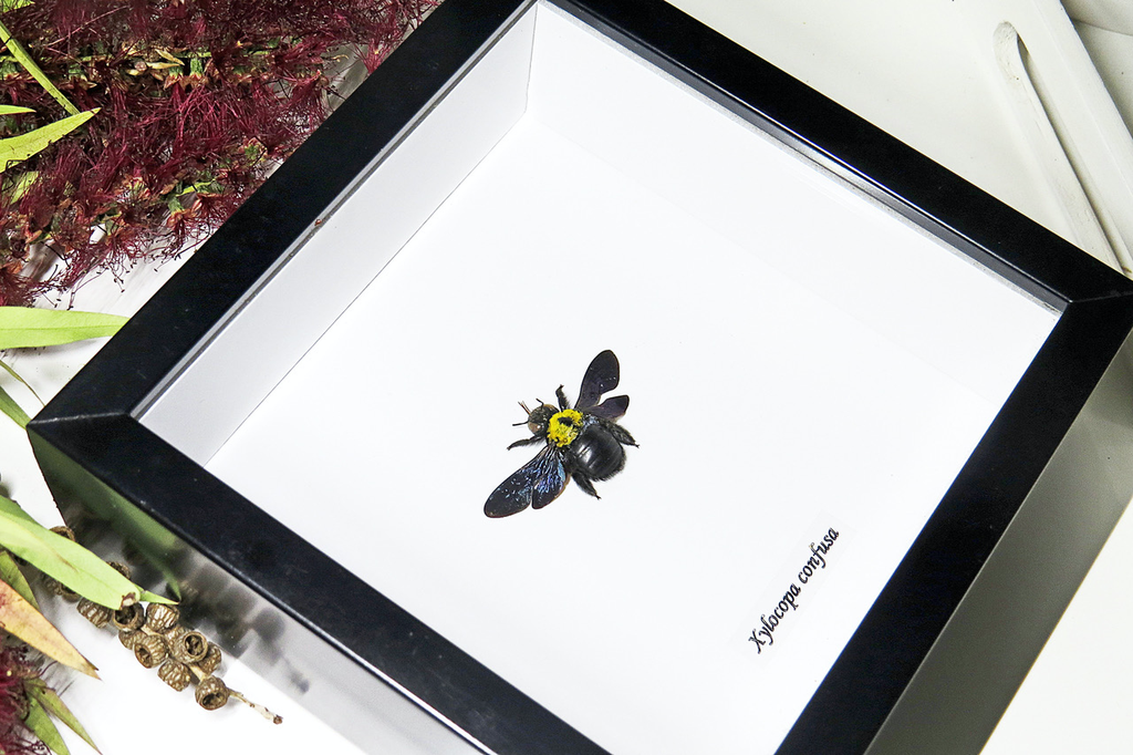 Xylocopa confusa bee in black frame 14.5x14.5