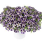 Jolly Farmer Amoré Purple Petunia