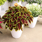 Jolly Farmer Alligator Alley Coleus