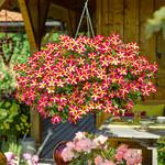 Jolly Farmer Amoré Queen of Hearts Petunia