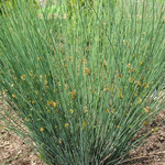 Jolly Farmer Blue Dart Juncus
