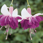 Jolly Farmer Blue Mirage Fuchsia
