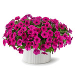 Jolly Farmer Capella Burgundy Petunia