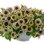 Jolly Farmer Cascadias Autumn Mystery Petunia