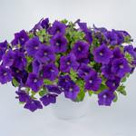 Jolly Farmer Cascadias Blue Omri Petunia