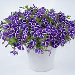 Jolly Farmer Cascadias Purple Gem Petunia