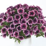 Jolly Farmer Cascadias Purple Ice Petunia