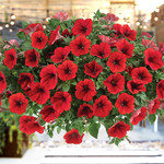 Jolly Farmer Cascadias Red Petunia