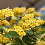 Jolly Farmer Chapel Hill Yellow Lantana