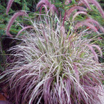 Jolly Farmer Cherry Sparkler Pennisetum