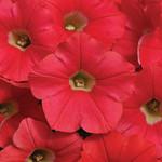 Jolly Farmer Coral Crush Shock Wave Petunia