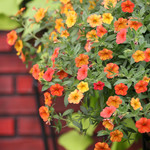 Jolly Farmer Crackling Fire Calibrachoa