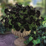 Jolly Farmer Crazytunia Black Mamba Petunia