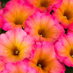 Jolly Farmer Crazytunia Mayan Sunset Petunia