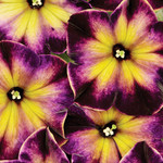 Jolly Farmer Crazytunia Moonstruck Petunia