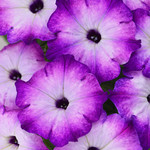 Jolly Farmer Crazytunia Purple Storm Petunia