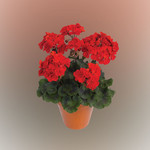 Jolly Farmer Darko Deep Red Geranium