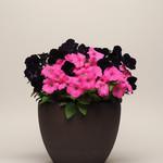 Jolly Farmer Debonair Black Cherry Upright Petunia