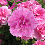 Jolly Farmer Double Wave Pink Petunia