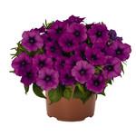 Jolly Farmer DuraBloom Electric Lilac Petunia