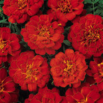 Jolly Farmer Durango Red Marigold