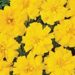 Jolly Farmer Durango Yellow Marigold