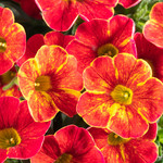 Jolly Farmer Firewalker Calibrachoa