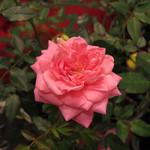 Jolly Farmer Fragrant Pink Rose