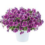 Jolly Farmer Hippy Chick Violet Petunia