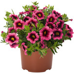 Jolly Farmer Hot Pink Calibrachoa