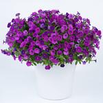 Jolly Farmer Littletunia Violet Petunia