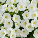 Jolly Farmer Littletunia White Grace Petunia