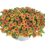 Jolly Farmer Melon Calibrachoa