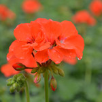Jolly Farmer Orange Geranium