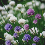 Jolly Farmer Ornamental Chives