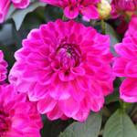 Jolly Farmer Pink Bicolor Dahlia