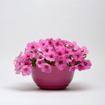 Jolly Farmer Pink Passion Wave Petunia
