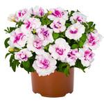 Jolly Farmer Pinkerbelle Petunia