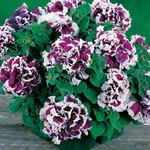 Jolly Farmer Pirouette Purple Upright Petunia