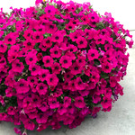 Jolly Farmer Powerhouse Purple Petunia