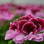 Jolly Farmer Purple Majesty Geranium