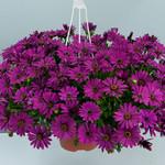 Jolly Farmer Purple Osteospermum