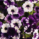 Jolly Farmer Purple Tie Dye Shock Wave Petunia