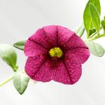 Jolly Farmer Raspberry Calibrachoa